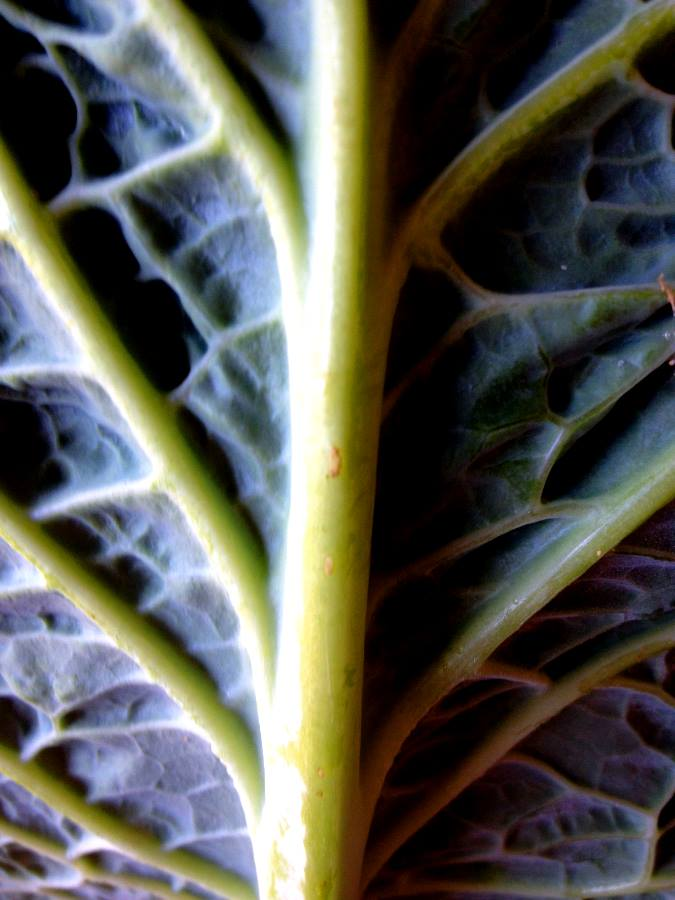 rib cabbage abstract art